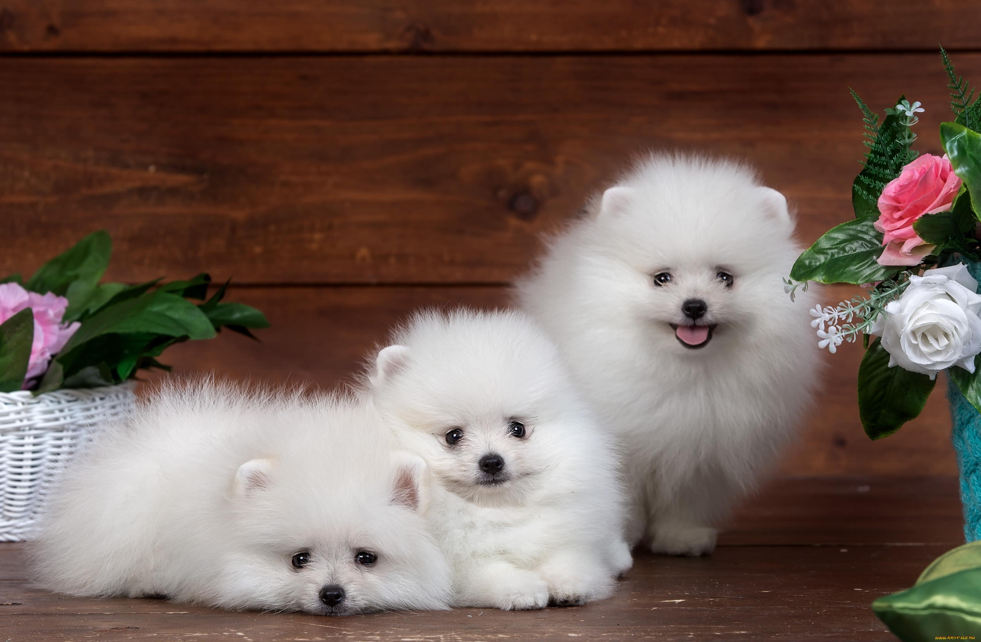 ситуациях, когда пушистые щенки милые фото сегодня вчера